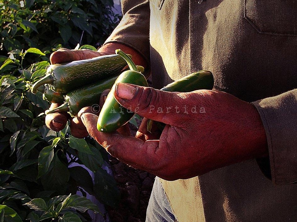 Sabe a México: La cosecha del chile Jalapeño en Nayarit